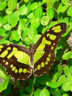 Belize butterfly TRAVEL ONLY