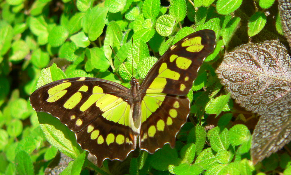 Belize_butterfly_melissa_scott