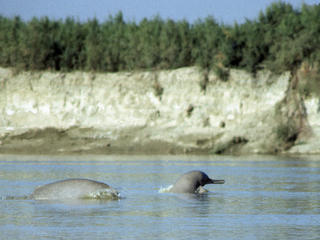 Indus River Dolphin swimming