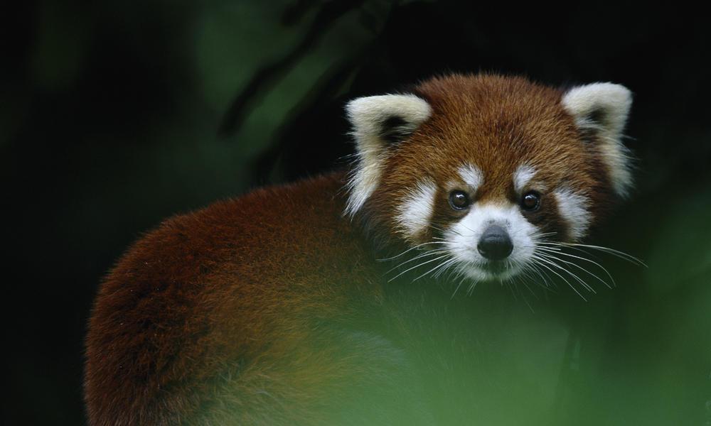 how long do pandas live