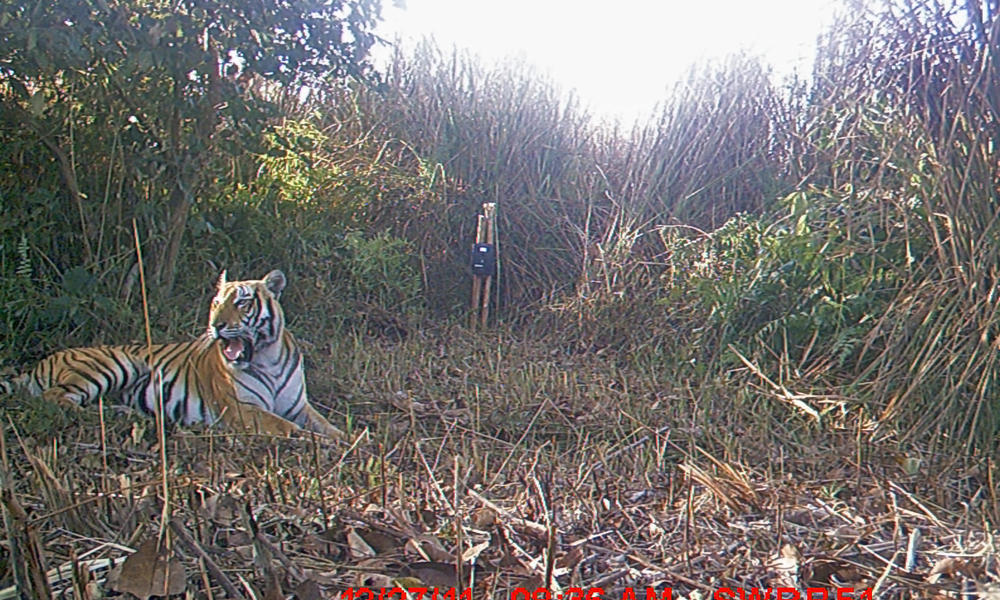 adult tiger camera trap