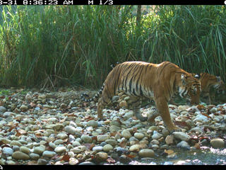 tigress and cubs camera trap
