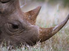 Rhino horn webres