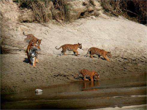 Bardia tigers near river