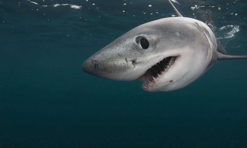 Shark Facts vs. Shark Myths | Stories | WWF