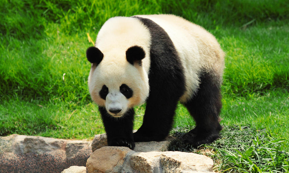 Image result for giant pandas