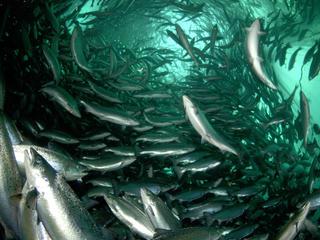salmon swimming up