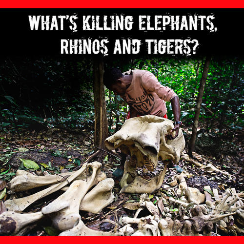 What's killing elephants, rhinos, and tigers?