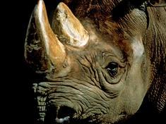 Rhino_203311