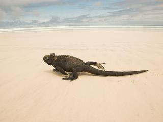 Marine iguana on a sandy beach in the Galapagos Islands, Ecuador.