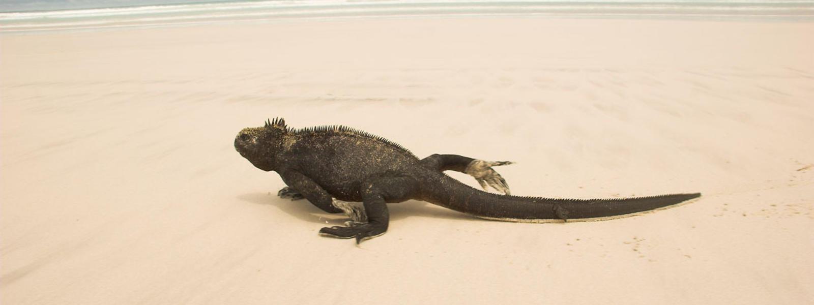 Marine Iguana | Species | WWF