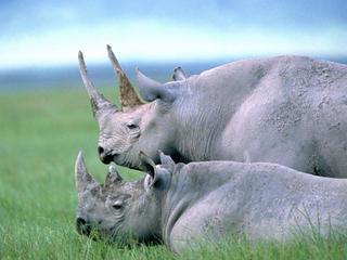 two black rhino