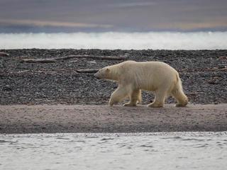 polar bear gives up