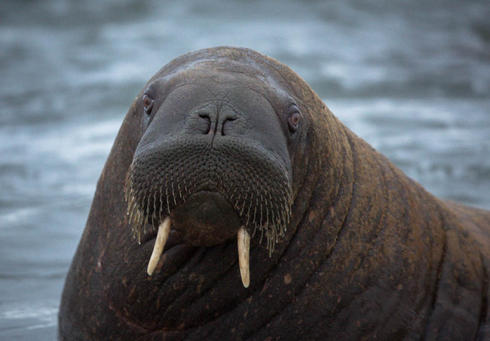 walrus in laptev