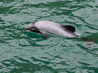 Hector's Dolphin in New Zealand Waters