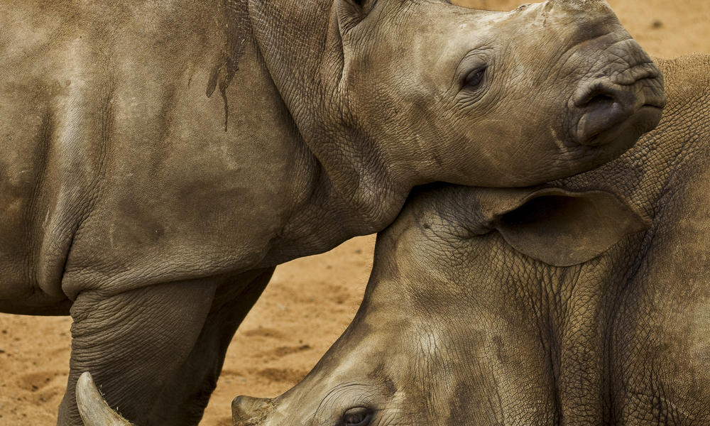 rhino calf and mom