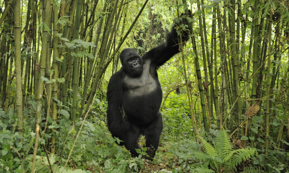 Gorilla standing up - photo#5