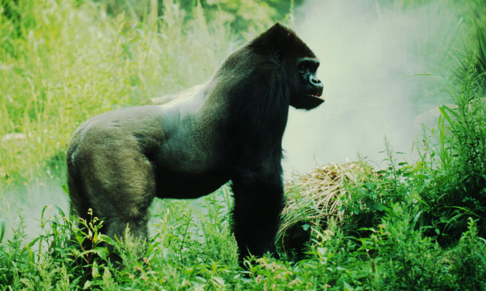 gorilla side angle