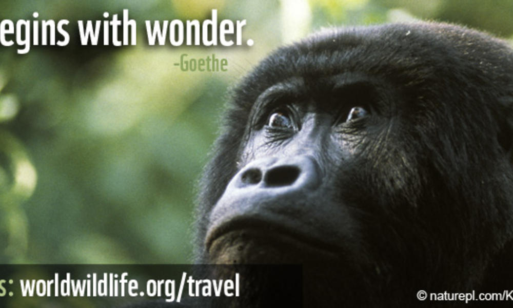Travel Wallpaper - 851x315 Gorilla Wisdom