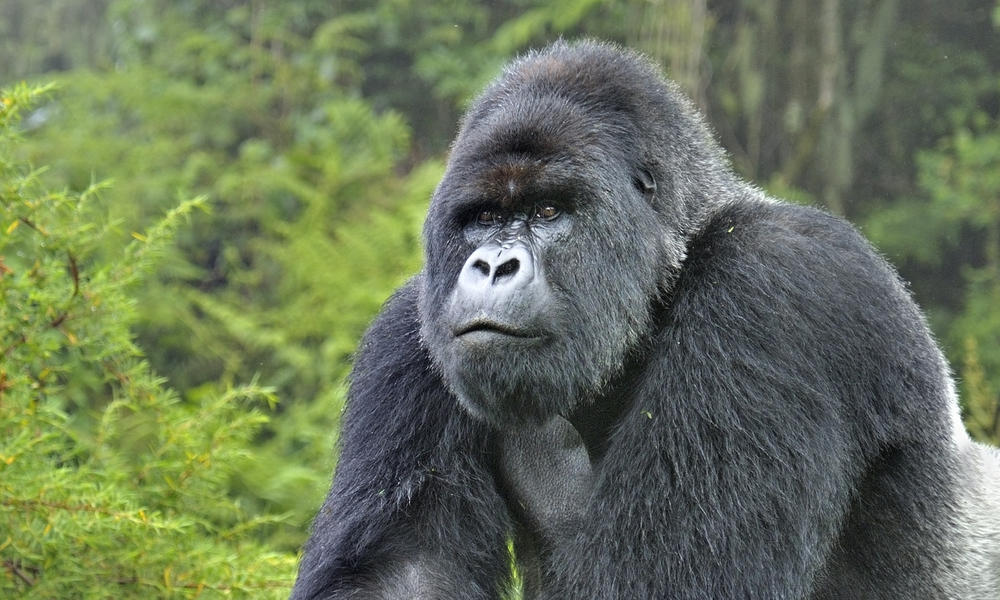 gorilla in Virunga