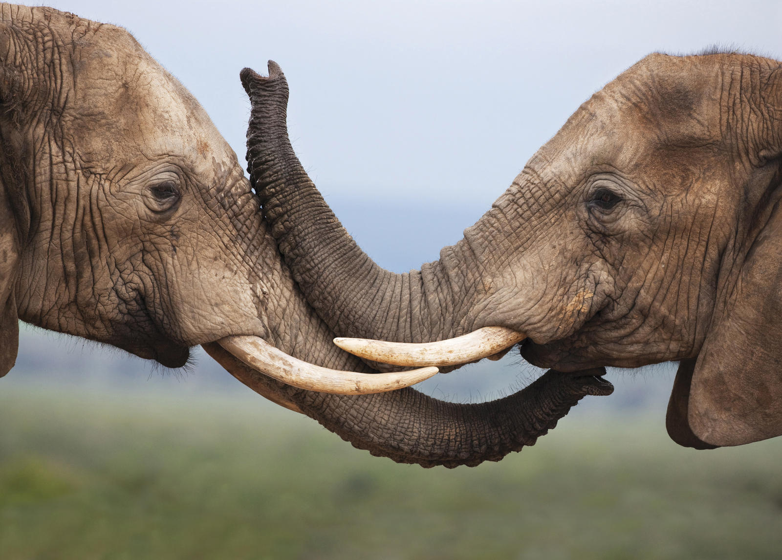 elephants linking tusks
