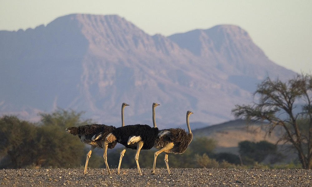 ostriches in the field