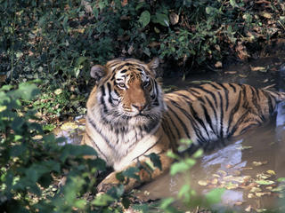 Amur_Heilong_Species_image_(c)_Hartmut_Jungius_WWF_Canon.jpg