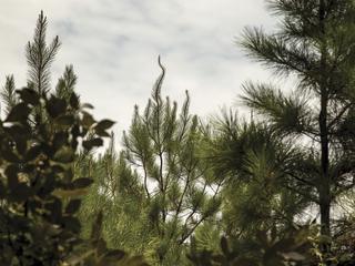 pine planted