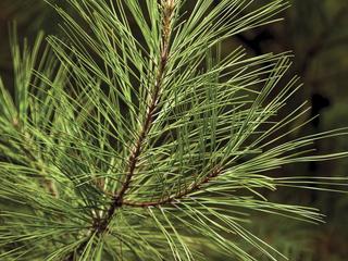 planted pine