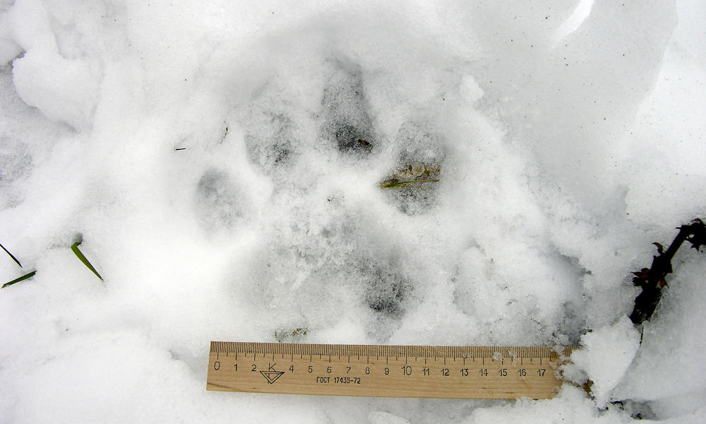 Wooden ruler to measure a foot print of a tiger paw in the snow