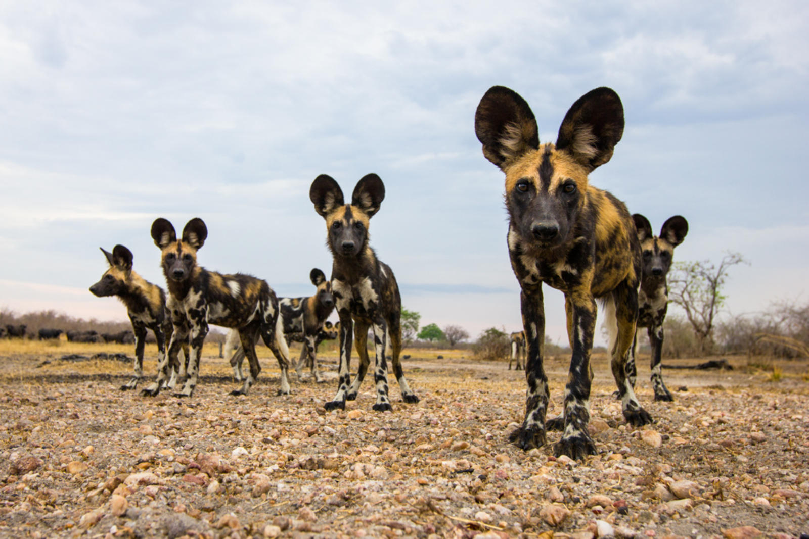 African wild dogs in Zamibia