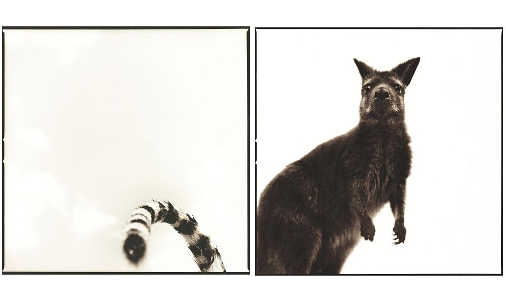 tiger and wallaby