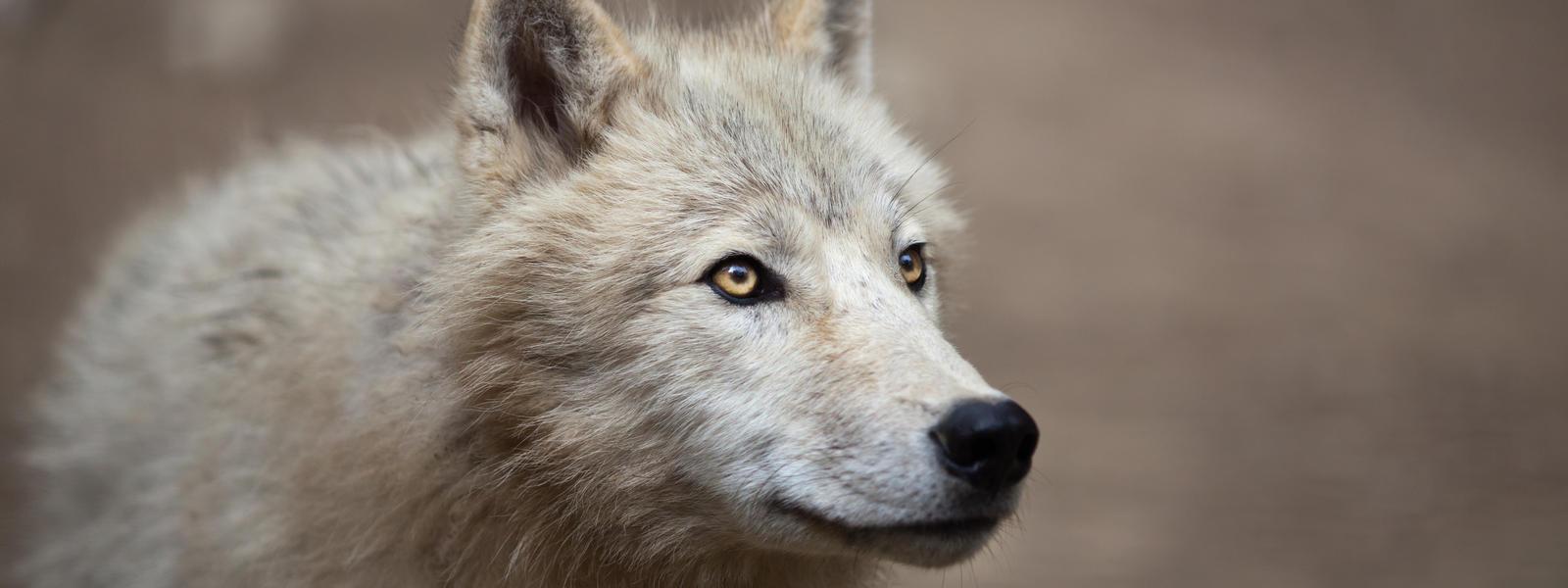 Arctic wolf species wwf arctic wolf biocorpaavc Gallery