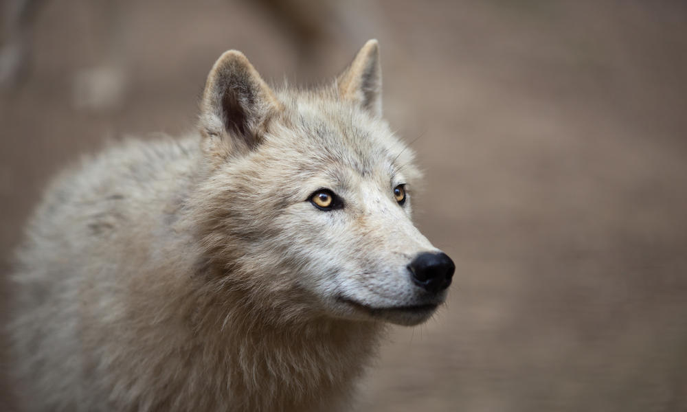 related pictures arctic wolves - photo #2