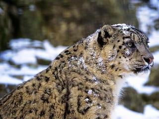 snow leopard profile