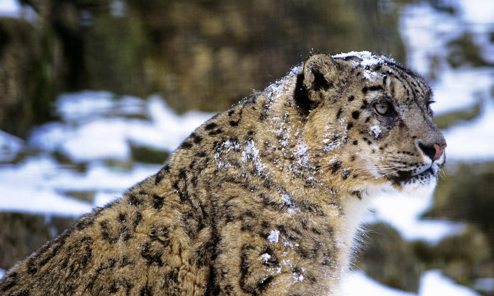 snow leopard profile