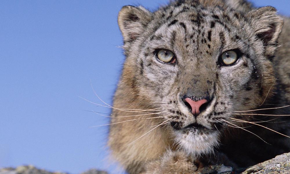 snow leopard crouching
