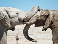 African Elephant and Elephant