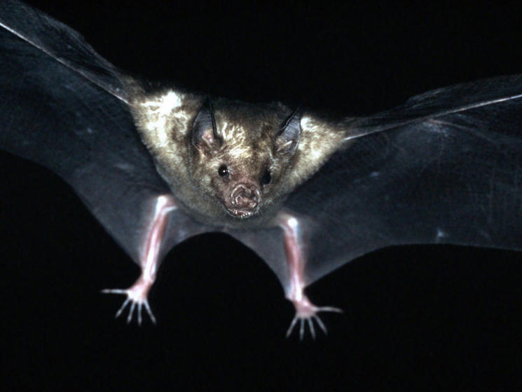 Cuban fig-eating bat