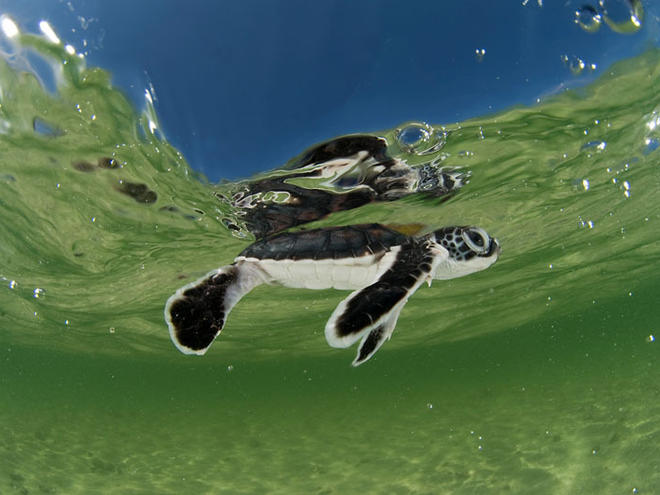 Baby green turtle (Chelonia mydas) hatchling swimming to the sea still in the shallows of the beach