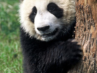 giant panda, Sichuan Province,  China