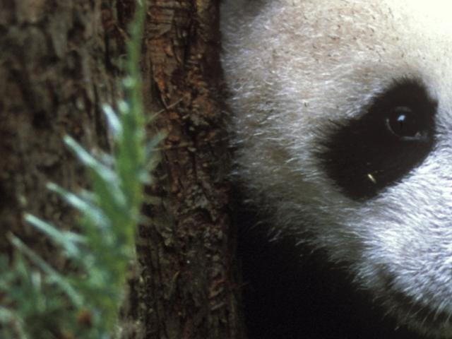 Panda cub behind tree