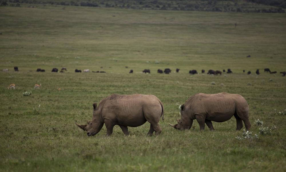 kenyan rhinos