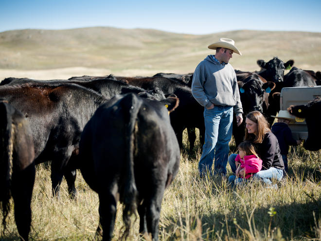 ranchers and cattle