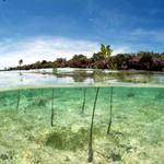 Mangrove reforesation Madagascar