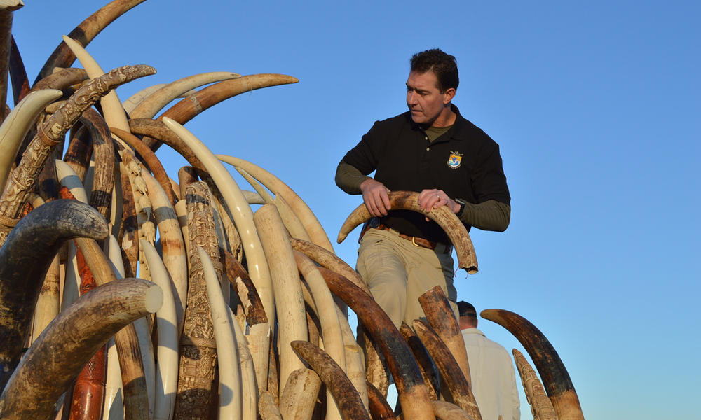 Steve Oberholtzer, USFWS, prepares tusks for ivory crush