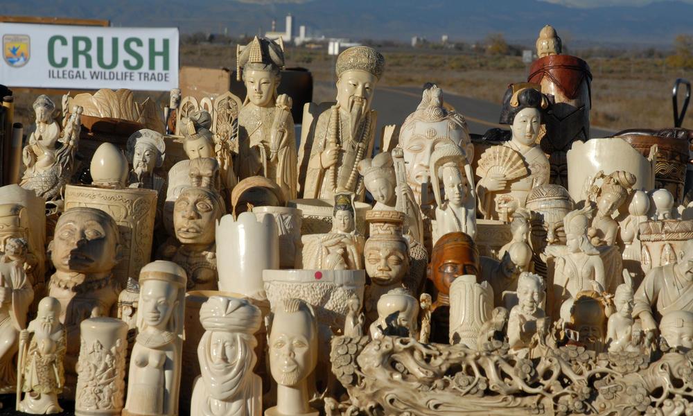 ivory supply