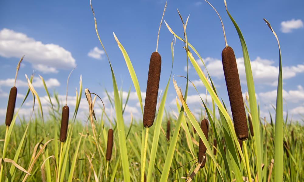 bulrush in field