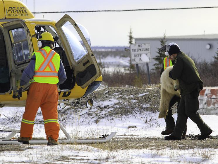 Brad josephs nha polar bear release