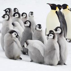 Emperor penguins gpn287281 help